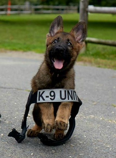 Puppies Training To Be Police Dogs